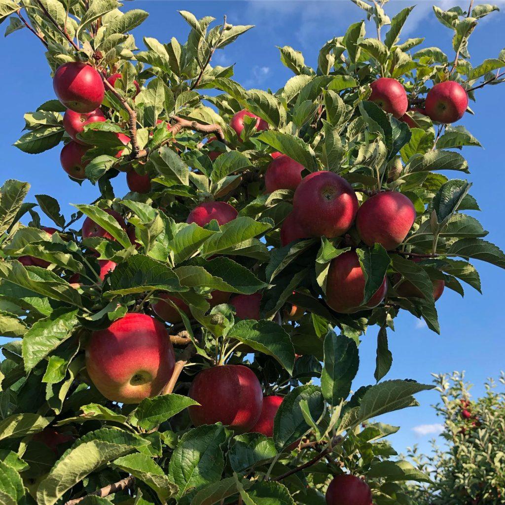 Се бараат работници за берба на јаболка
